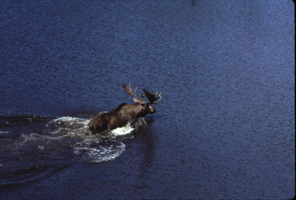 Swimming Moose