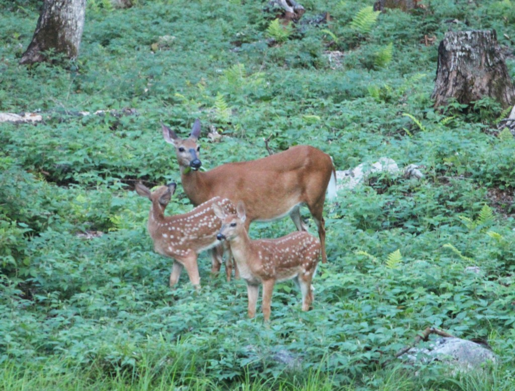 3 Acre Wood Doe and Fawn Twins 07-21-12