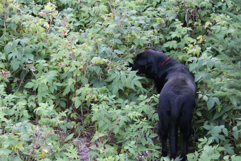 Ziggy the Adirondack Raspberry Picking Dog
