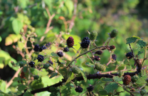 Adirondack Wild Blackberries