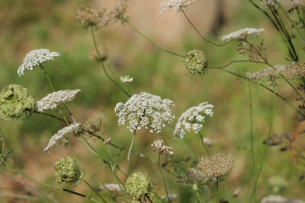 Queen Annes Lace Adirondack Lifestyle 082912