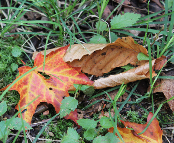 Adirondack maple leaf 09-05-12