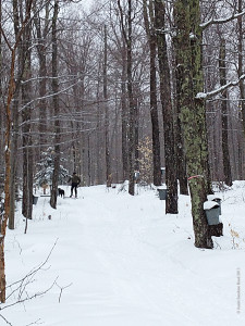 Spring skiing through the sugar bush in the Adirondacks.