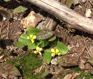 Adk yellow wood violets 05-09-14