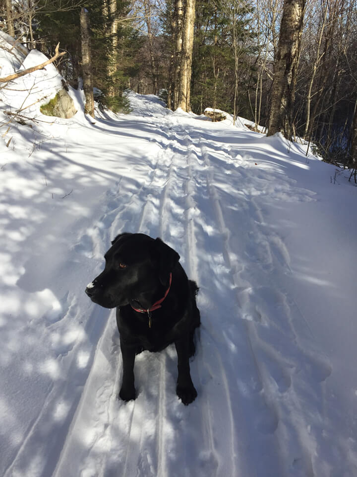 Adk Ski Dog Ziggy on the Jackrabbit Trail 01-08-16