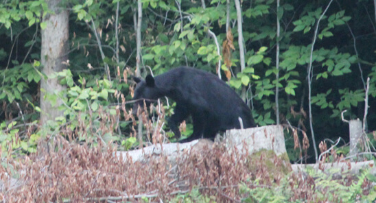 Adirondack Black Bear at Adirondack Lifestyle HQ