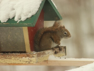 Fat and happy Adirondack Red Squirrel 2016