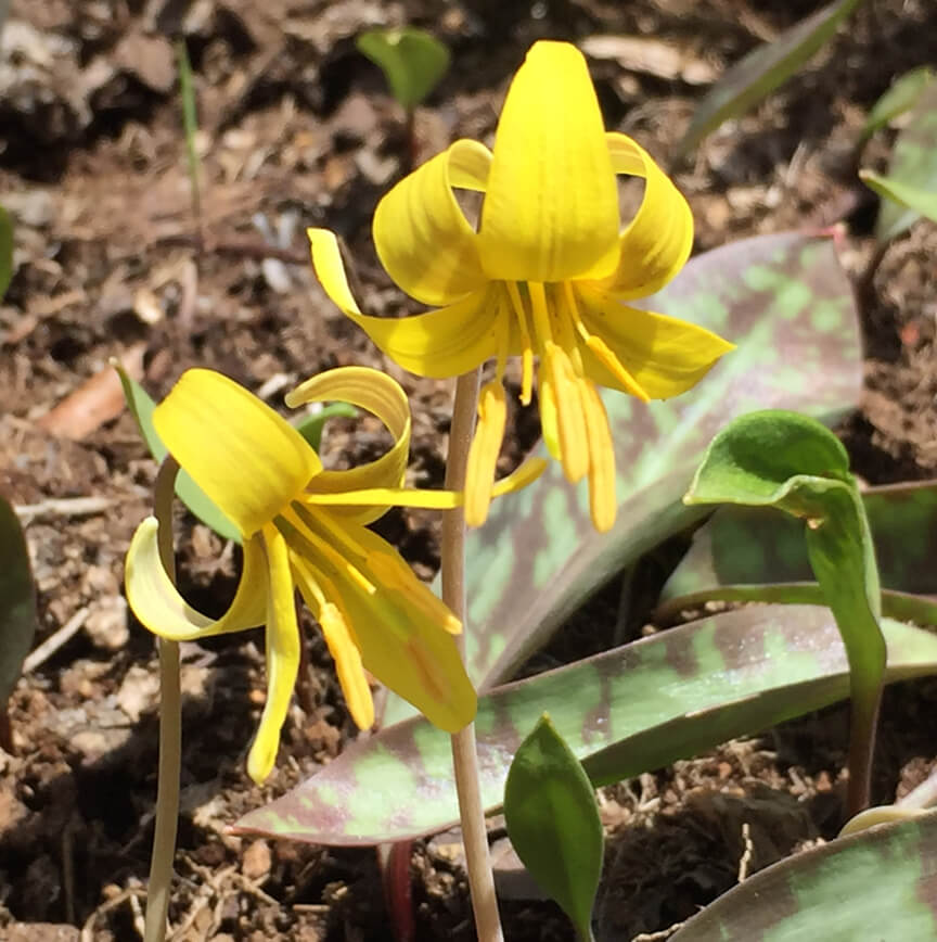 Adirondack Trout Lily Yellow 2016