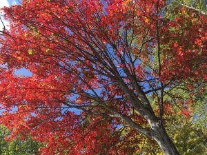 Adirondack Red Maple Autumn Equinox 2017